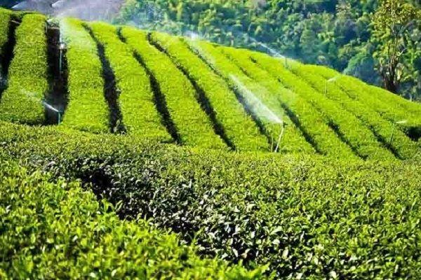 پرداخت 1.5 میلیارد تسهیلات بهزراعی باغات چای