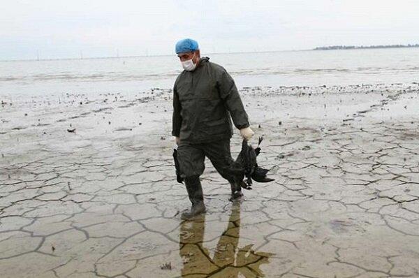 شمار تلفات پرندگان مهاجر در سواحل بندرترکمن به 800 قطعه رسید