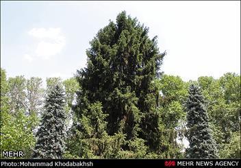 شرایط ساماندهی درختان سعدآباد تشریح شد
