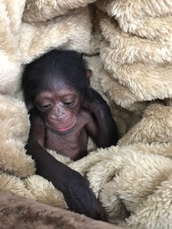 ماجرای شامپانزه ای که به باغ وحش ارم بازگردانده نشد، چیست؟