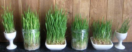 انواع بذر سبزه عید و زمان کاشت هرکدام