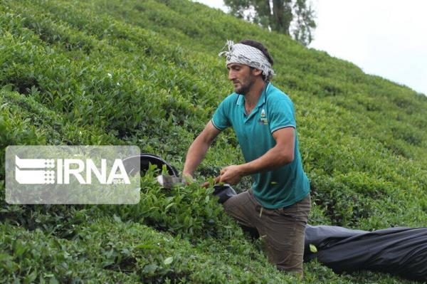 خبرنگاران افزون بر 43 هزار تن برگ سبز چای از چایکاران خریداری شد